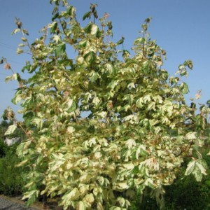 Купить семена, растение – Клен ложноплатановый Саймон Льюис Фререс (Acer pseudoplatanus Simon Louis Freres)