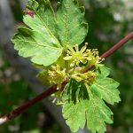 Купить семена, растение – Клен голый (Acer glabrum)