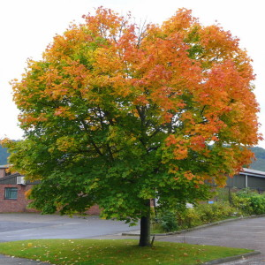Купить семена, растение – Клен остролистный, Клен платановидный, Клен платанолистный (Acer platanoides)