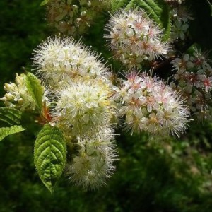 Купить семена, растение – Черемуха Маака, или Вишня железистая, Вишня железистолистная, Церападус железистолистный, Черемуха медвежья, Медвежья ягода (Prunus maackii; также Padus maackii