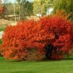 Купить семена, растение – Клен Гиннала, или Клен приречный (Acer ginnala)