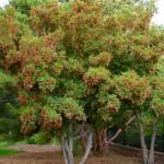 Купить семена, растение – Клен татарский, или Черноклен, Неклен (Acer tataricum)
