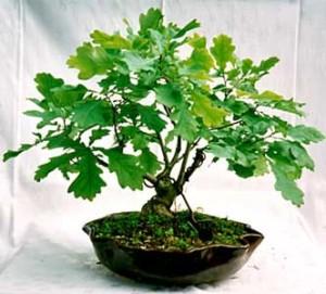 Купить семена, растение – Дуб черешчатый, или Дуб летний, Дуб обыкновенный, Дуб английский (Quercus robur)