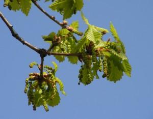 Купить семена, растение – Дуб монгольский (Quercus mongolica)