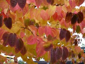 Купить семена, растение – Багрянник японский, или Круглолистник, Церцидифиллюм (Cercidiphyllum japonicum)