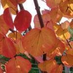 Купить семена, растение – Багрянник величественный, Багрянник великолепный (Cercidiphyllum magnificum)