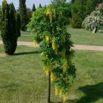 Купить семена, растение – Бобовник альпийский, или Золотой дождь альпийский, Лабурнум (Laburnum alpinum)