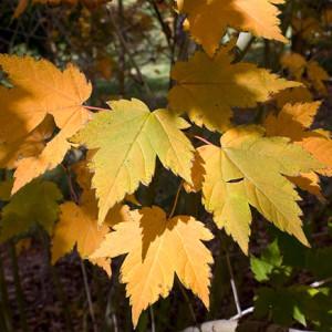 Купить семена, растение – Клен Бородатый, или Клен уссурийский (Acer barbinerve)