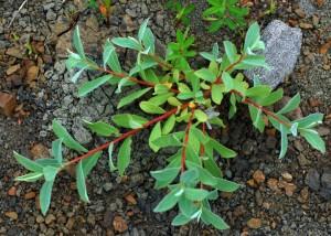 Купить семена, растение – Кореянка земляничниколистная, или Чозения земляничниколистная (Chosenia arbutifolia)