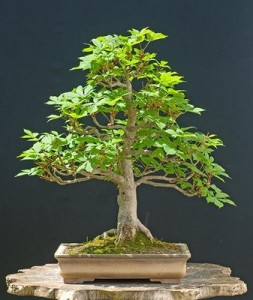 Купить семена, растение – Конский каштан обыкновенный, или желудник, эскулус (Aesculus hippocastanum)
