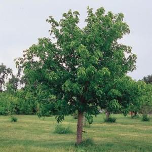 Купить семена, растение – Конский каштан голый (Aesculus glabra)