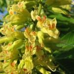 Купить семена, растение – Конский каштан восьмитычинковый (Aesculus octandra)