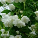 Купить семена, растение – Чубушник Вержиналь (махровый)