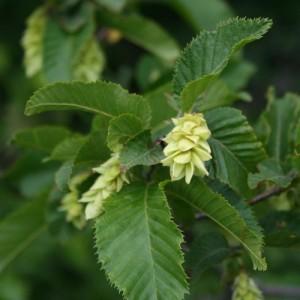 Купить семена, растение – Хмелеграб виргинский, или американский, Хмелеграб (Ostrya virginiana)