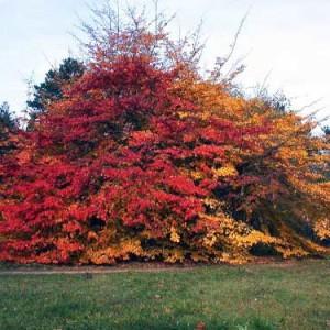 Купить семена, растение – Парротия персидская, или Железное дерево, железняк, амбур, демир-агач (Parrotia persica)