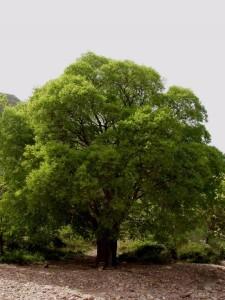 Купить семена, растение – Каркас южный, или Каркас обыкновенный, Каменное дерево, Железное дерево, Кукуля (Celtis australis)