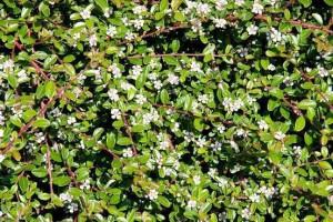 Купить семена, растение – Кизильник Даммера (Cotoneaster dammeri)