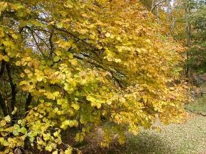 Купить семена, растение – Гамамелис виргинский (Hamamelis virginiana)