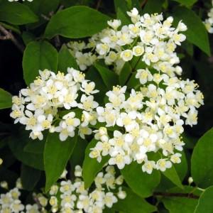 Купить семена, растение – Дейция амурская, или мелкоцветная (Deutzia amurensis)
