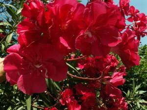Купить семена, растение – Олеандр обыкновенный красный (Nerium oleander)