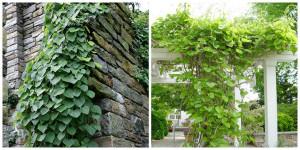 Купить семена, растение – Кирказон крупнолистный, или Кирказон трубочный, Аристолохия (Aristolochia macrophylla)