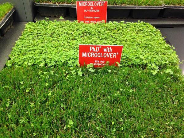 Микроклевер — газон без проблем
