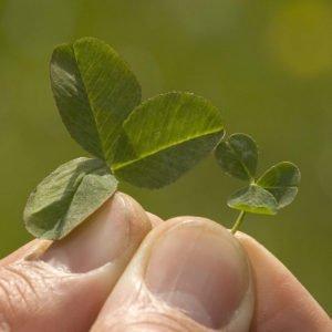 Купить семена, растение – Микроклевер (MicroClover)
