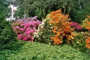 Купить семена, растение – Рододендрон японский лососевый (Rhododendron molle subsp. japonicum)