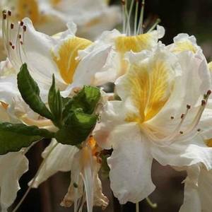 Купить семена, растение – Рододендрон японский белый (Rhododendron molle subsp. japonicum)