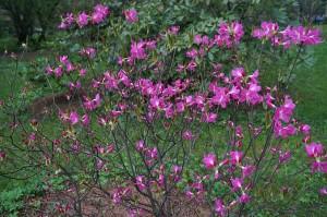 Купить семена, растение – Рододендрон Альбрехта (Rhododendron albrechtii)