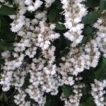 Купить семена, растение – Дейция шершавая, или звездчатая Plena (Плена) (Deutzia scabra)
