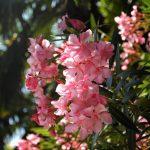 Купить семена, растение – Олеандр обыкновенный розовый (Nerium oleander)