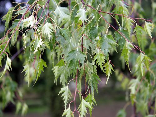 Купить семена, растение – Береза Далекарлийская повислая (Betula dalecarlica)