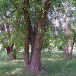 Купить семена, растение – Береза черная, Береза речная (Betula nigra)