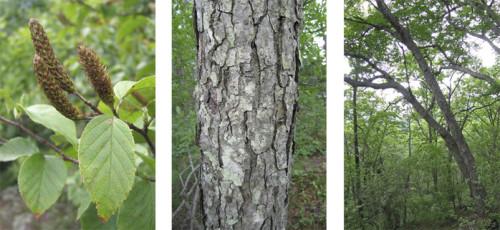 Купить семена, растение – Береза Шмидта, Береза железная (Betula schmidtii)