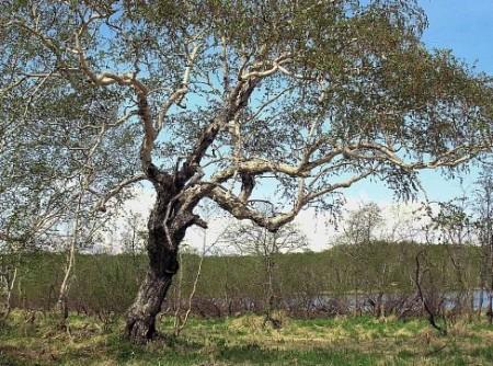 Купить семена, растение – Береза Эрмана, или Береза каменная (Betula ermanii)