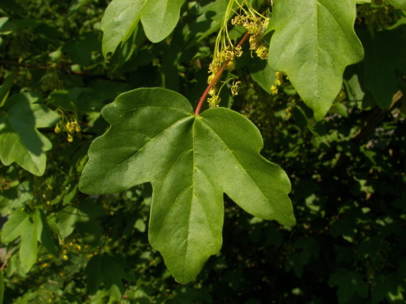 Купить семена, растение – Клен полевой, или Клён равнинный, Неклен, Паклен (Acer campestre)