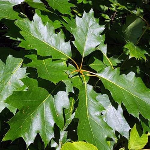 Купить семена, растение – Дуб красный, или дуб остролистный, дуб канадский, или дуб северный (Quercus rubra)