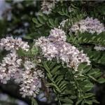 Купить семена, растение – Робиния пышная (Robinia luxurians)