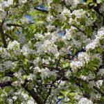 Купить семена, растение – Яблоня маньчжурская (Malus manshurica)