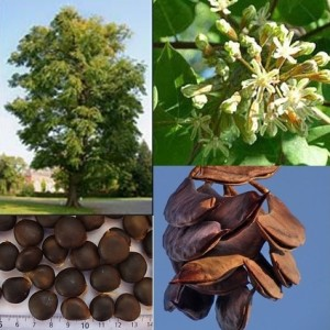 Купить семена, растение – Бундук двудомный, или Бундук канадский, Кентуккийское кофейное дерево, Мыльное дерево, Гимнокладус двудомный (Gymnocladus dioicus)
