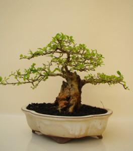 Купить семена, растение – Кудрания триостренная, или Клубничное дерево, Малиновое дерево (Cudrania tricuspidata)