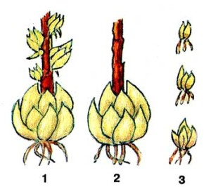 Размножение луковицами-детками