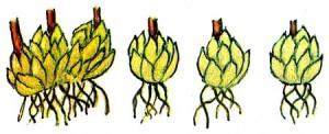 Деление гнезда луковиц