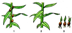 Размножение стеблевыми почколуковичками (бульбочками)