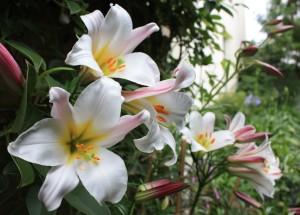 Размножаем королеву сада - Лилию