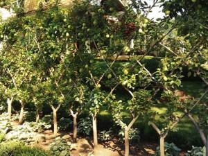 Живая изгородь из плодовых деревьев
