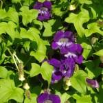 Купить семена, растение – Азарина лазающая, или Маурандия лазающая (Asarina (Maurandia) scandens = Asarina (Maurandia) semperflorens = Usteria scandens)