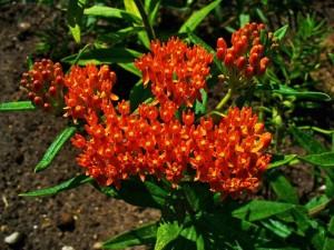 Купить семена, растение – Ваточник Кюрасавский Силки Ред, или Ваточник, или Асклепиас (Asclepias)