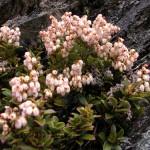 Купить семена, растение – Гаультерия лежачая (Gaultheria procumbens)